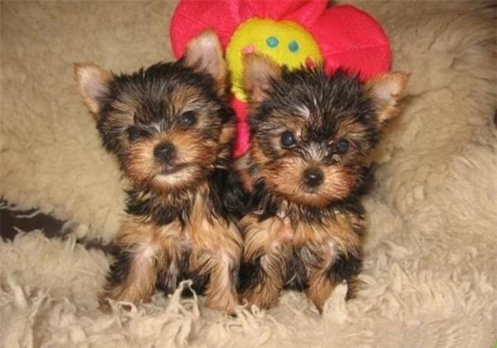 yorkshire terrier toys